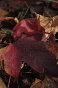close up photo of red and gold autumn leaves