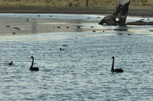 A pair of black swans swimming with the ducks on the farm dam, lambs by the dam in the background