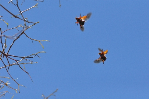 Two christmas beetles in flight, wings whirring, in the tree tops