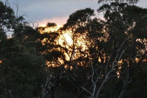 Early morning with a pre-sunrise orange glow lighting through the gum trees