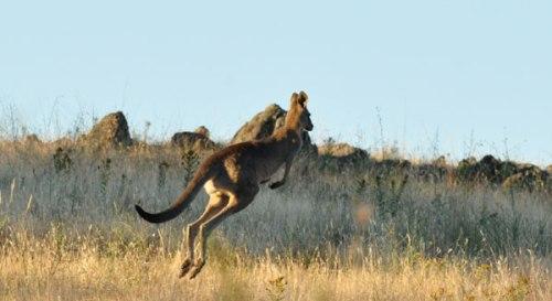 Kangaroo - NSW
