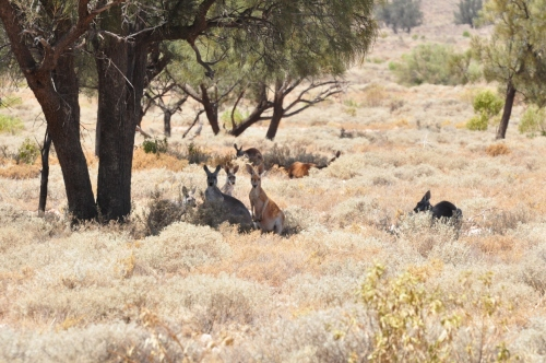 Kangaroos jump about all night