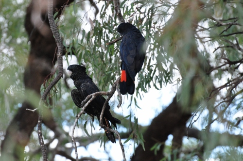 A pair of red-tailed black cockies by the Darling River
