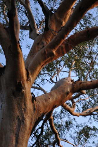 Sunset reflected on a ghost gum tree