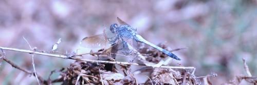 Dragonfly - The Newey Cobar April 2012